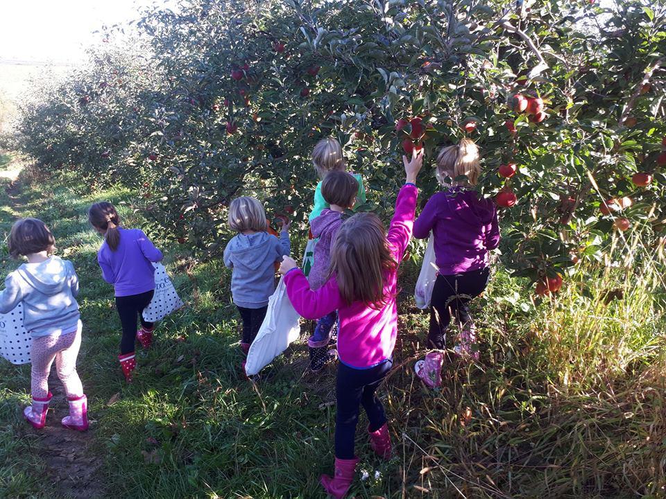 Berba jabuka u Velikoj Ludini